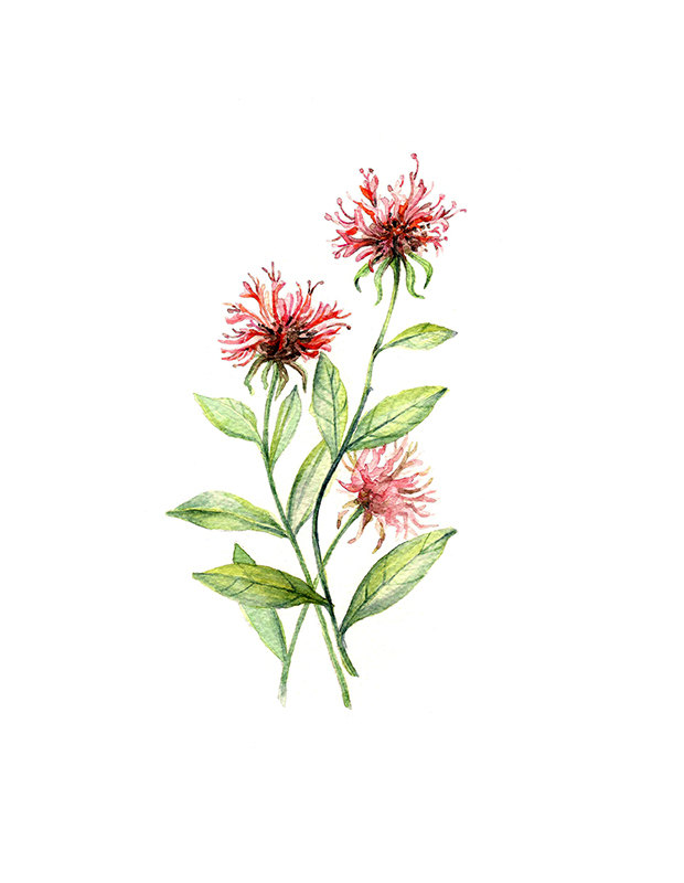 Bee Balm Floral Botanical Print Illustration Watercolor Garden.