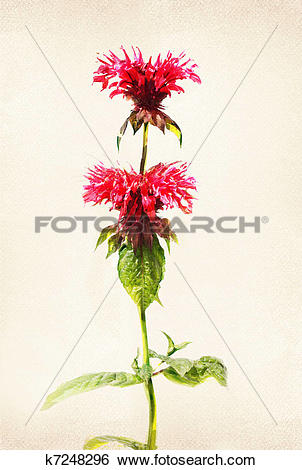 Stock Illustration of Watercolored bee balm k7248296.