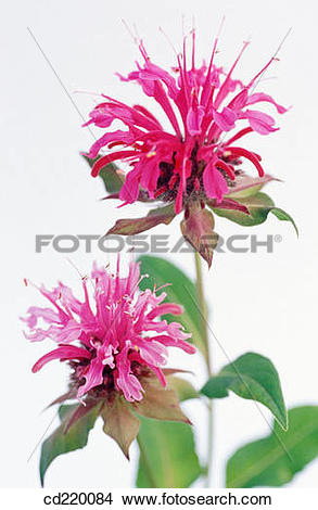 Stock Photo of Bee Balm (Monarda didyma) cd220084.