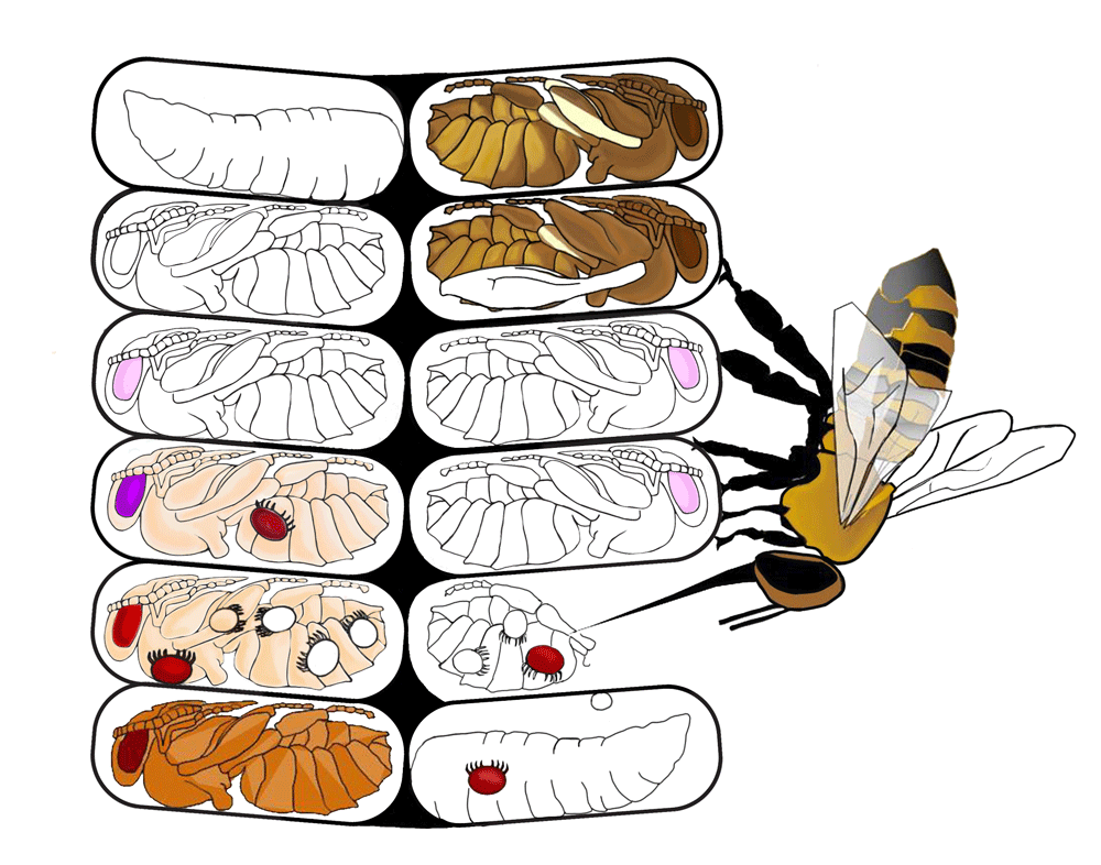 Managing Varroa Mites in Honey Bee Colonies.