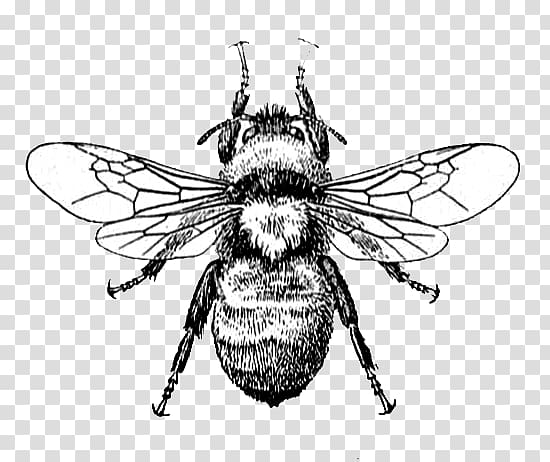 Black and white bee illustration, Honey bee Drawing , bee.