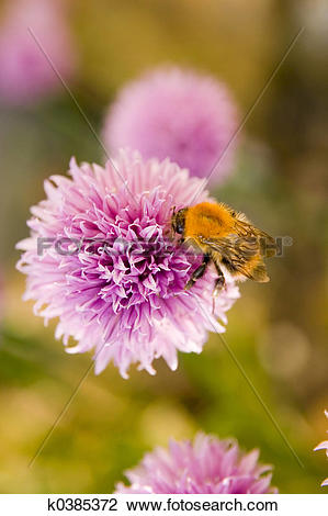 Stock Photo of Honey bee on pink flowering herb k0385372.