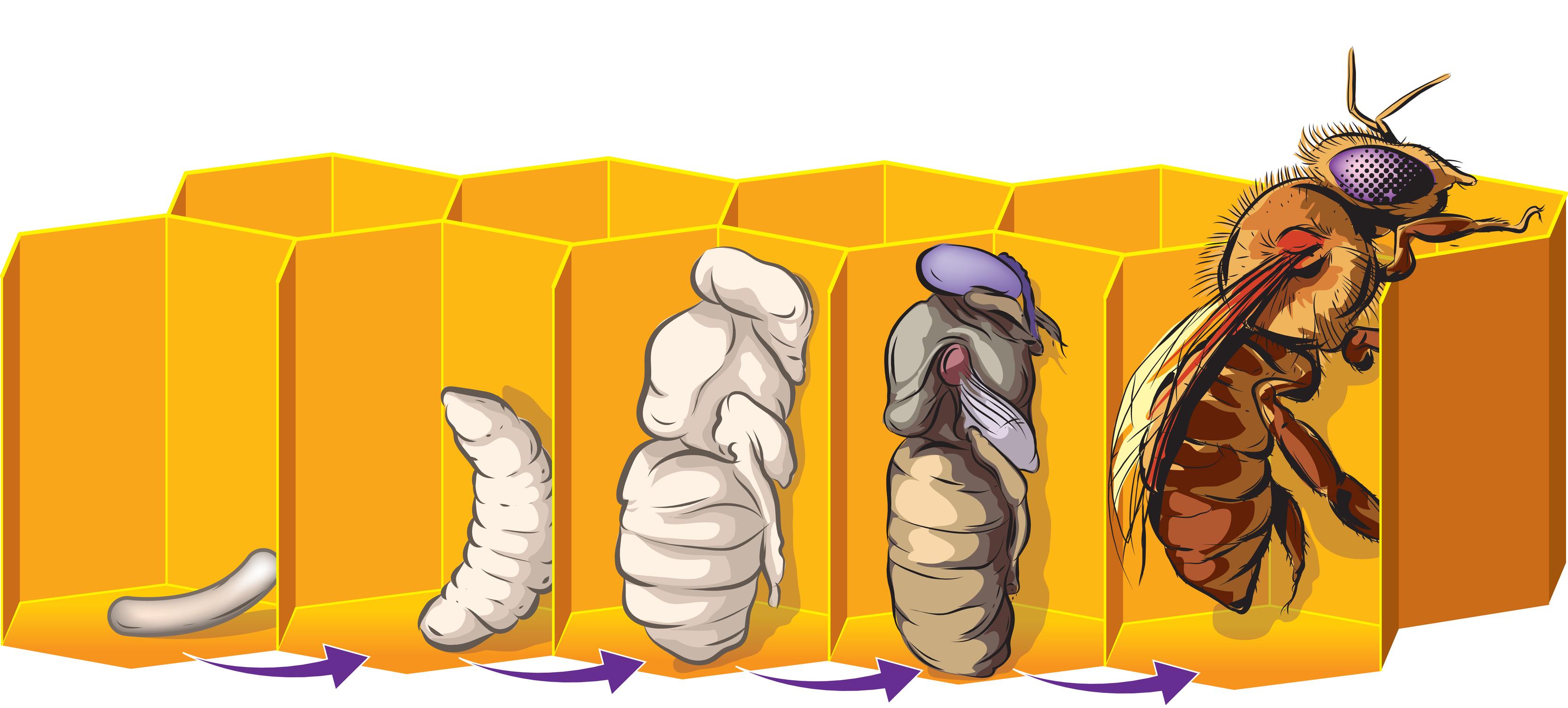 Life Cycle of Honeybees 6.