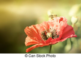 Stock Photos of Bee on poppies rays of the sun. Photographed with.
