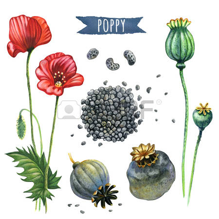 432 Opium Poppy Stock Vector Illustration And Royalty Free Opium.