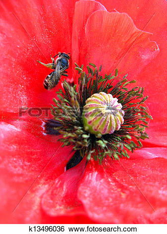 Stock Illustration of beautiful flower of red poppy and bee.