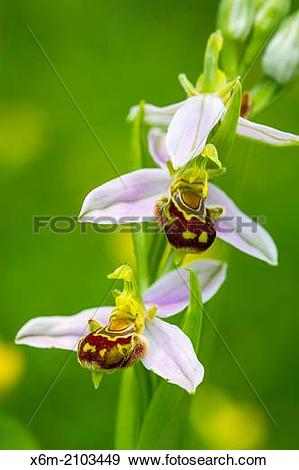 Stock Photograph of Bee orchid flowers (Ophrys apifera.