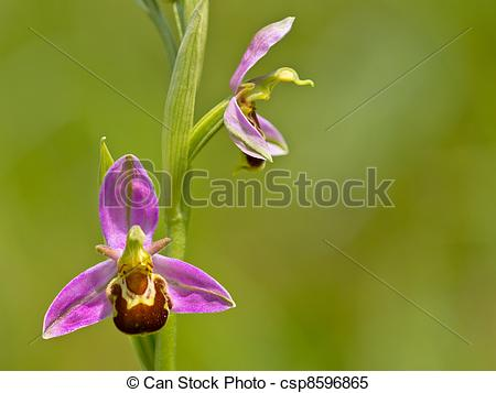 Stock Images of Bee orchid double flower against green background.