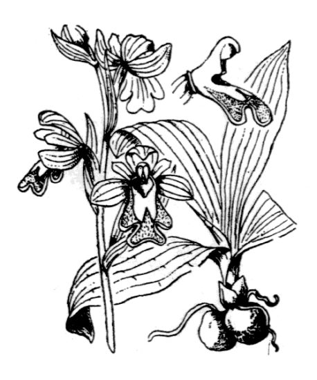 Ophrys fusca [Ofride scura].