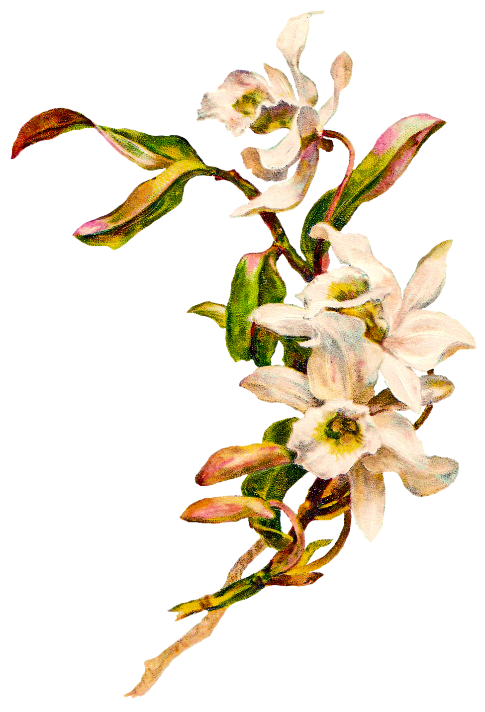 Orchid Images Free.