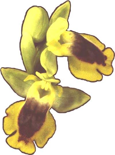 European Wild Orchids.