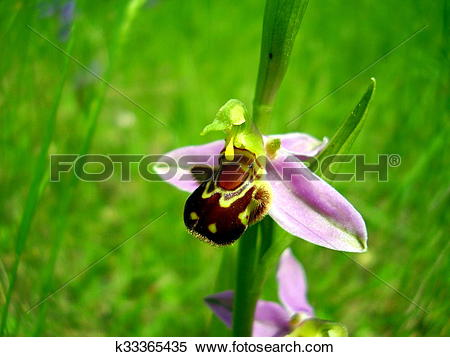 Stock Image of Bee Orchid k33365435.