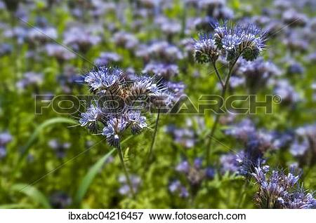 Picture of Bee pasture, lacy phacelia, blue tansy or purple tansy.