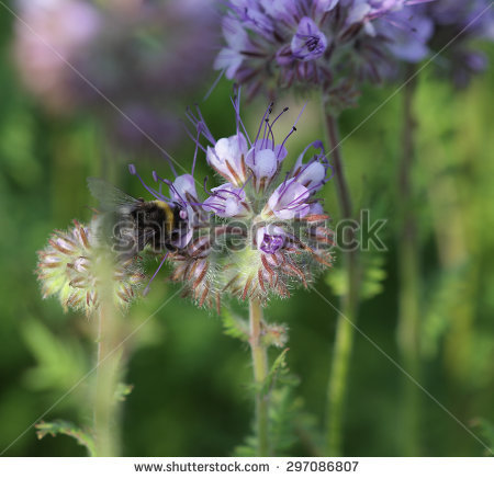 "phacelia Tanacetifolia"" Stock Photos, Royalty."
