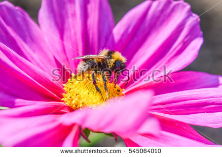 Spring Single Daisy Flower Bee Stock Photo 364067591.