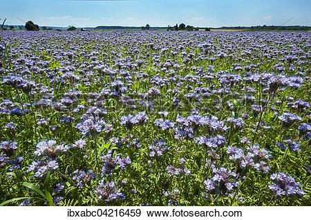 Stock Photograph of Bee pasture, lacy phacelia, blue tansy or.