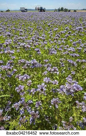 Stock Photo of Bee pasture, lacy phacelia, blue tansy or purple.