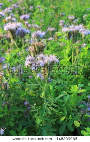 "phacelia Tanacetifolia"" Stock Photos, Royalty."