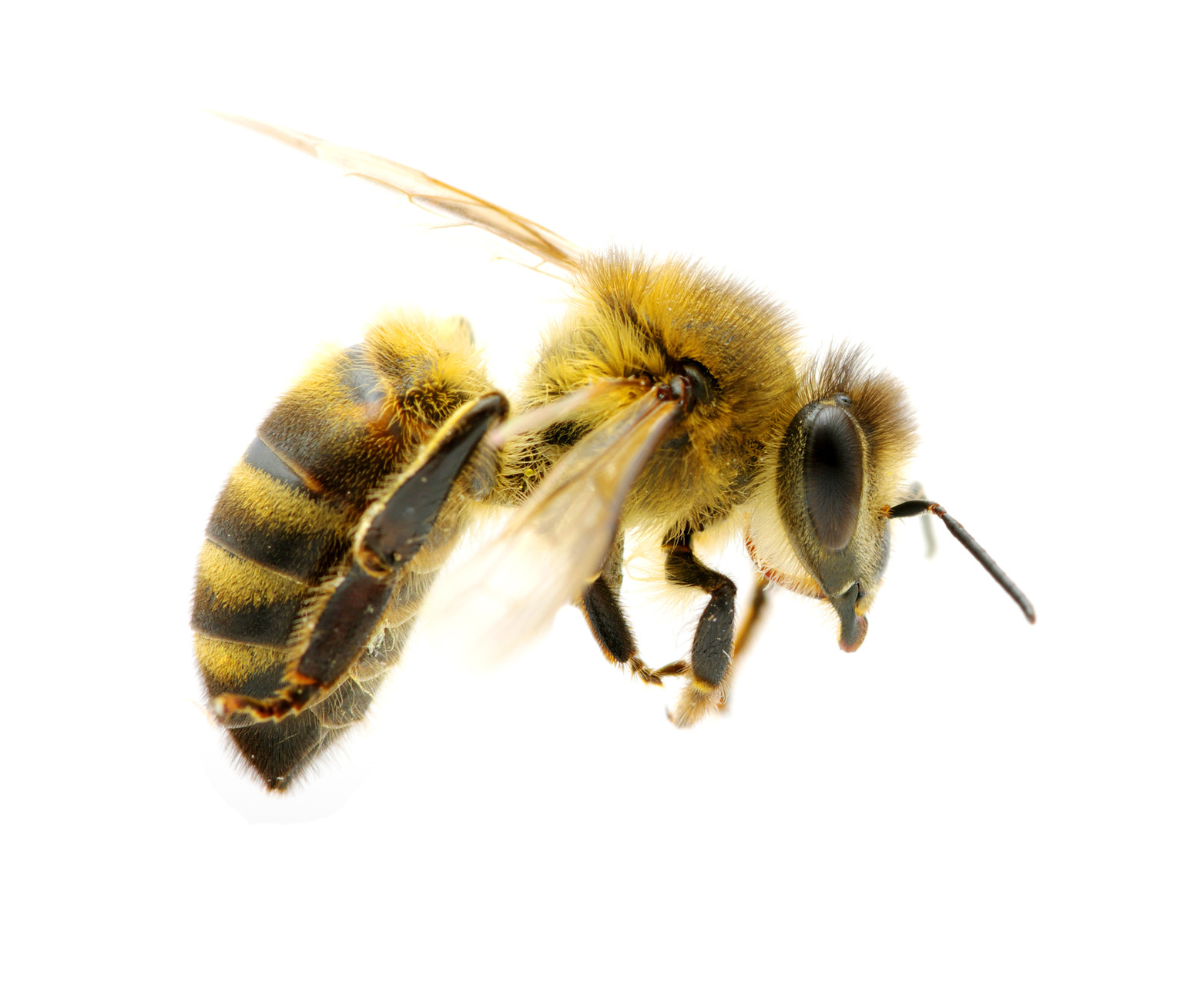 Honey Bee PNG HD Transparent Honey Bee HD.PNG Images..