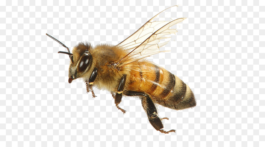 Bee Background png download.