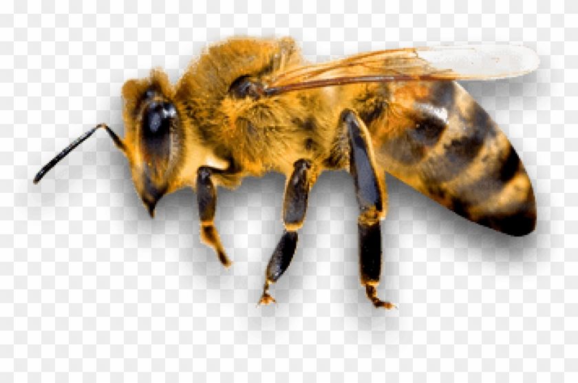 Download Side Bee Png Images Background.