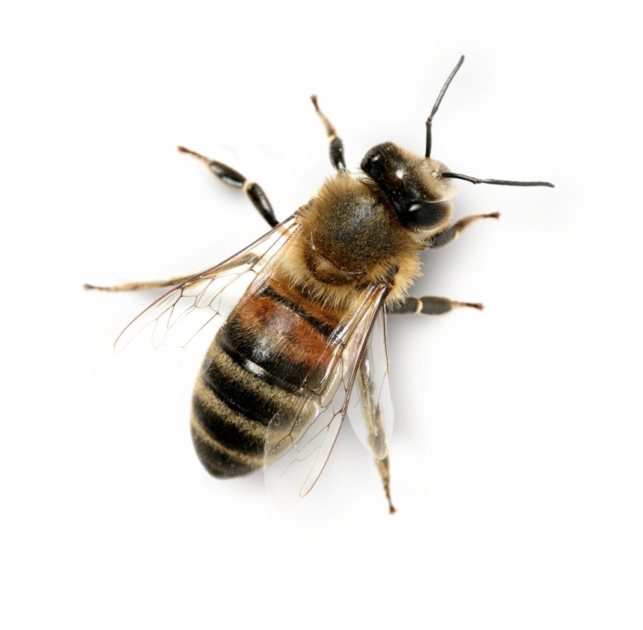 Transparent Background Honey Bee Png, Transparent Png Download For.