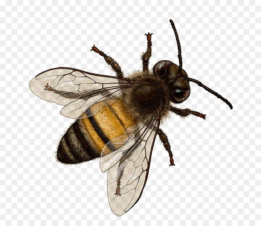 Honey Bee Insect Bombus Terrestris Horne #368.