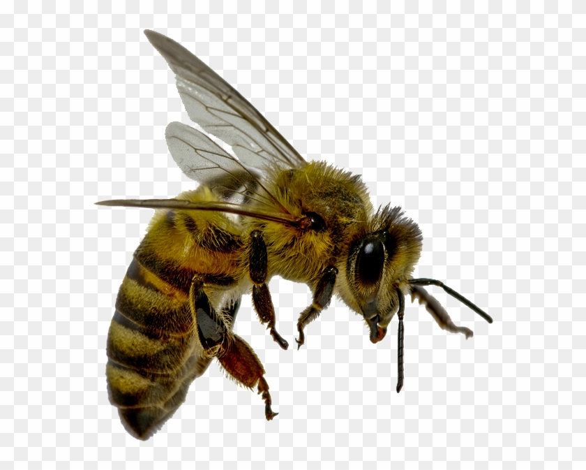 Flying Bee Png 4%2bcopy.