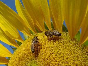 Honey Bees Photo Clipart Image.