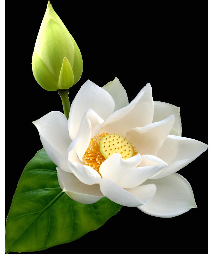 White Lotus PNG Clip Art.