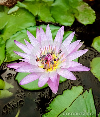 Lotus Flower Stock Photography.