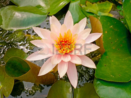 Bee And White Lotus Stock Photos Images, Royalty Free Bee And.