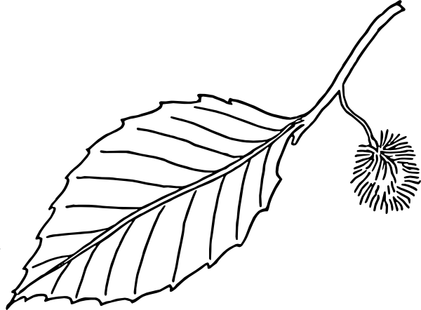 Beech Leaf Outline Clip art.
