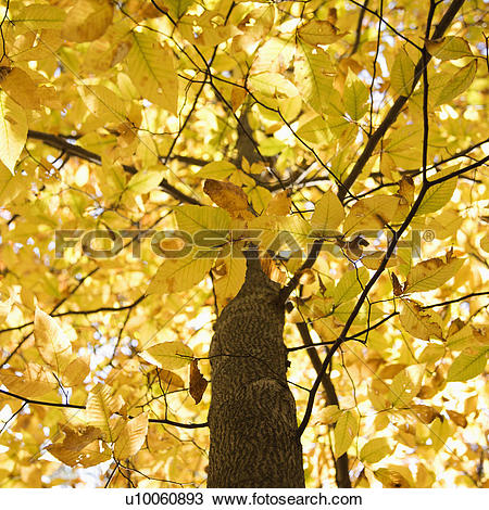 Stock Photo of American Beech tree branches covered with yellow.