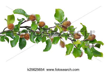 Stock Photo of Beech Branch k25625654.