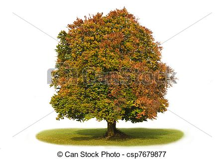Picture of beech tree.