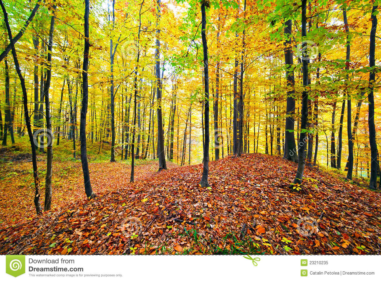 Beech Forest Royalty Free Stock Photo.