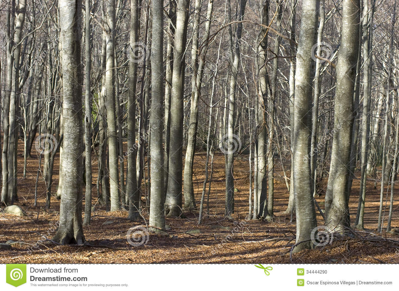 Beech Forest Stock Photo.