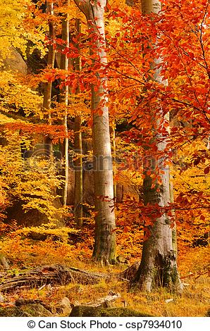 Stock Photography of beech forest in fall 28 csp7934010.
