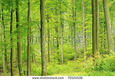 Beech Forest Stock Photos, Royalty.