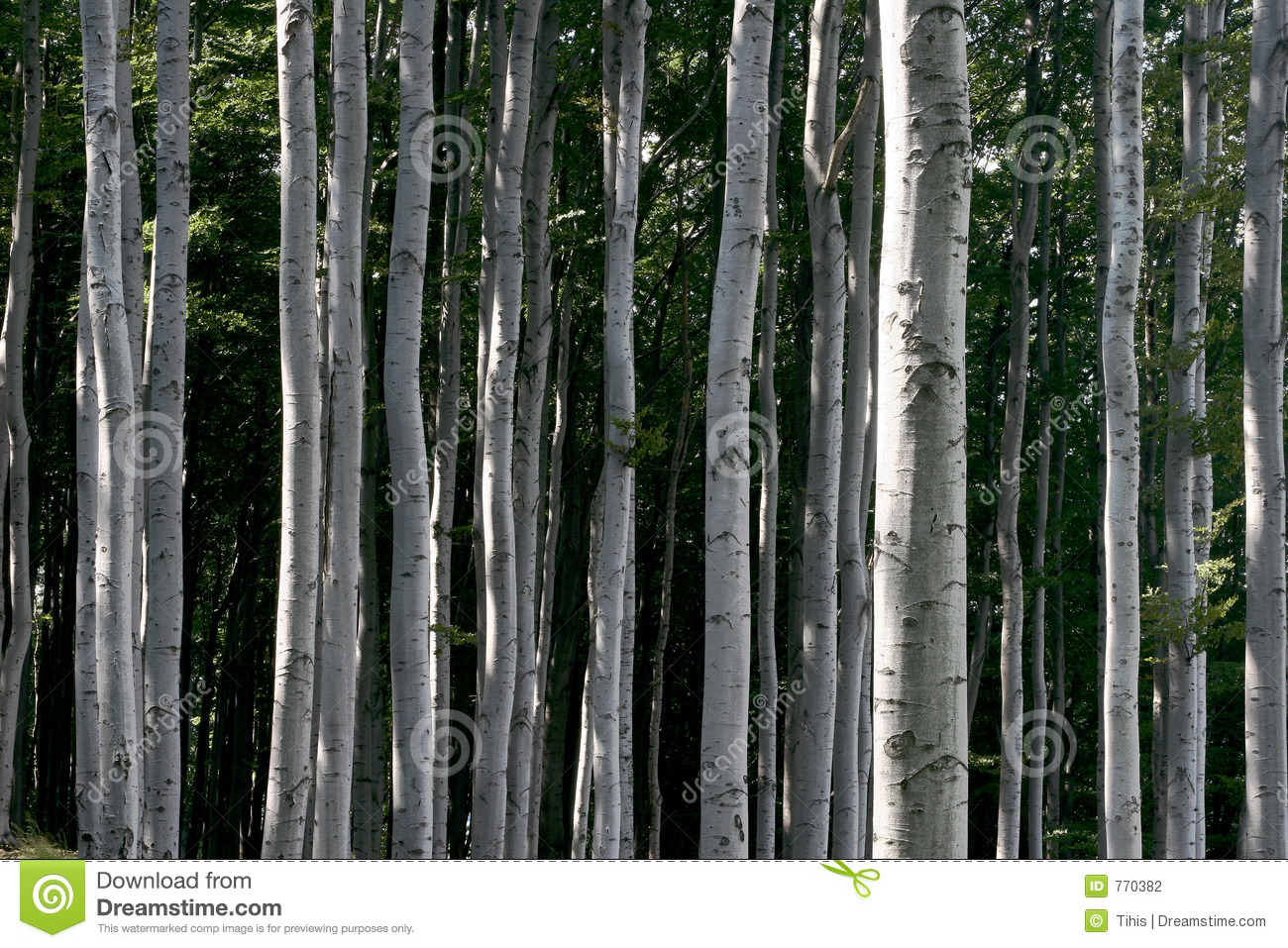 Beech Forest Stock Photography.