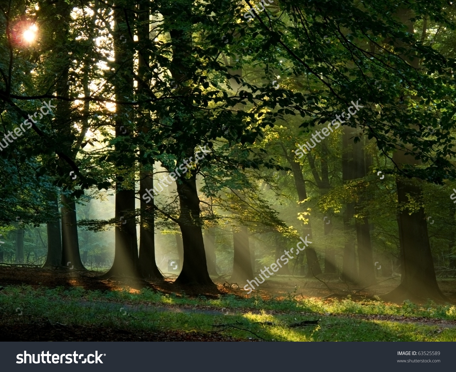 Beech Forest With Fog And Warm Sunshine In Autumn, Fall Stock.