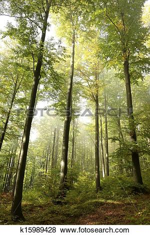 Stock Illustration of Early autumn beech forest k15989428.