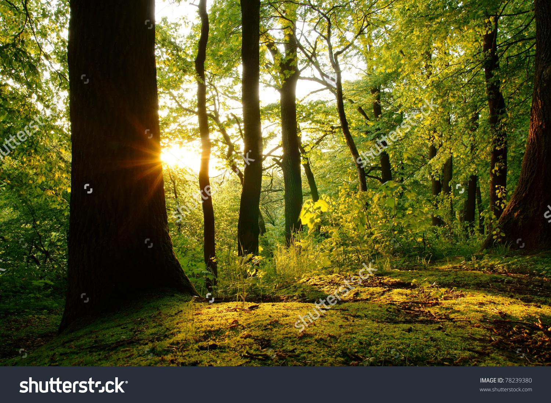 Last Rays Setting Sun Beech Forest Stock Photo 78239380.