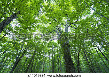 Stock Photo of Big tree in beech forest x11019384.
