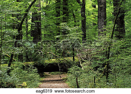 Stock Photograph of Ancient BEECH FOREST in the MT ASPIRING.