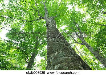 Stock Photograph of Beech forest, Hokkaido ekdb003939.