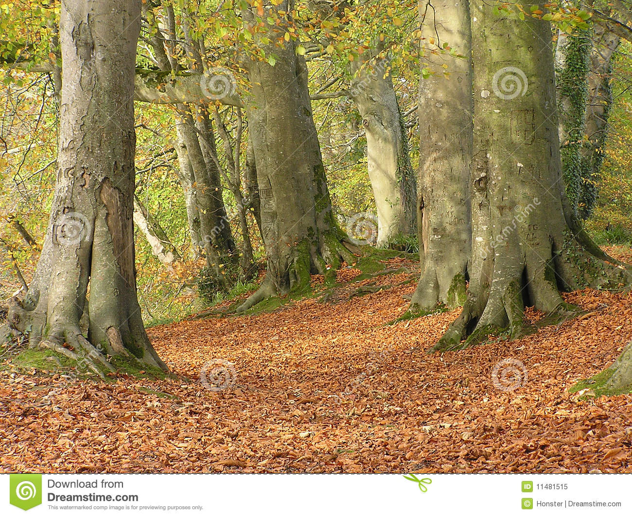 Beech Forest In Autumn Royalty Free Stock Photo.