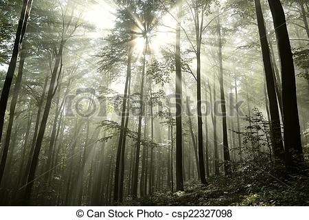 Stock Photographs of Beech forest in the fog after rainfall.