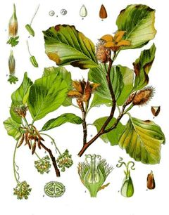 1000+ ideas about Fagus on Pinterest.